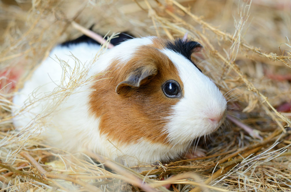 Best Bedding for Guinea Pigs of 2018