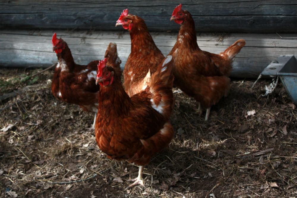 Best Bedding for Chickens of 2018