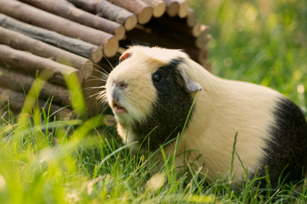 Best Guinea Pig Food Of 2018