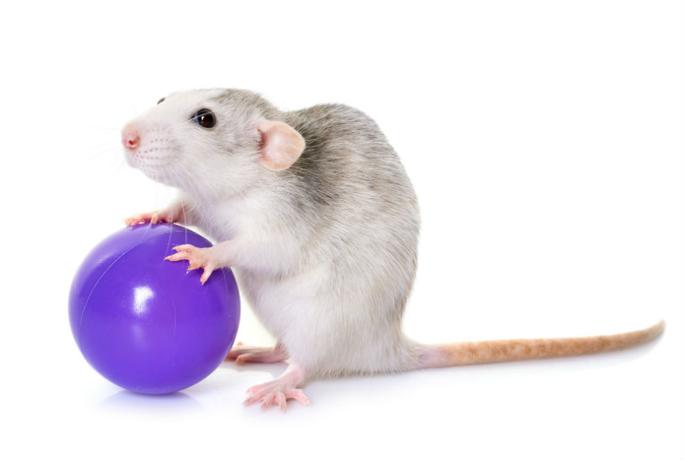 Best Rat Toys of 2018: Complete Reviews With Comparisons