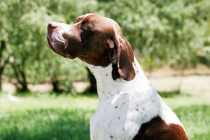 best_hunting_dog_pointer
