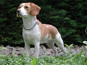best_hunting_dogs_beagle