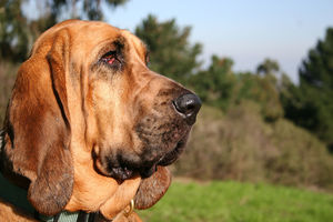 best_hunting_dogs_bloodhound