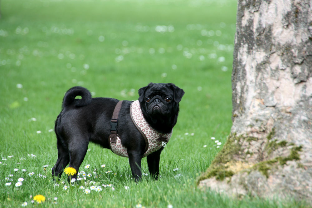 Pug Life Harness Reviews - picture of pug in Pug Life harness