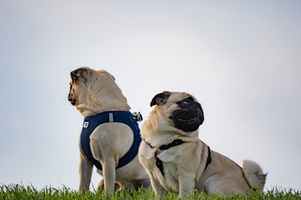 Pug Life Harness Reviews - 2 pugs wearing Pug Life harnesses