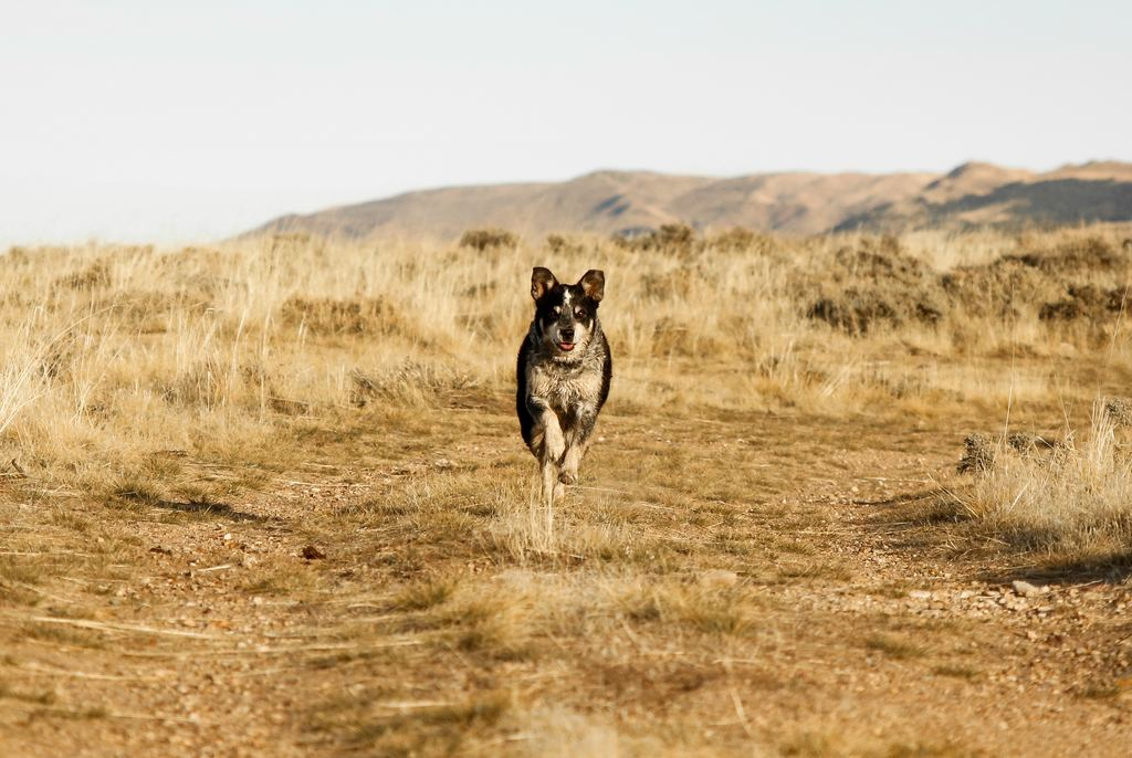 blue-heeler-australia-cattle-dog-3