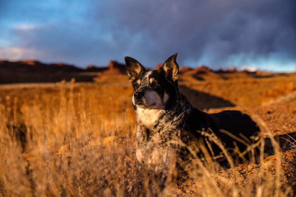 blue-heeler-australia-cattle-dog-6